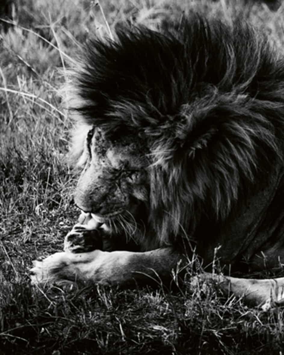 Löwen Buch von teNeues Unisize